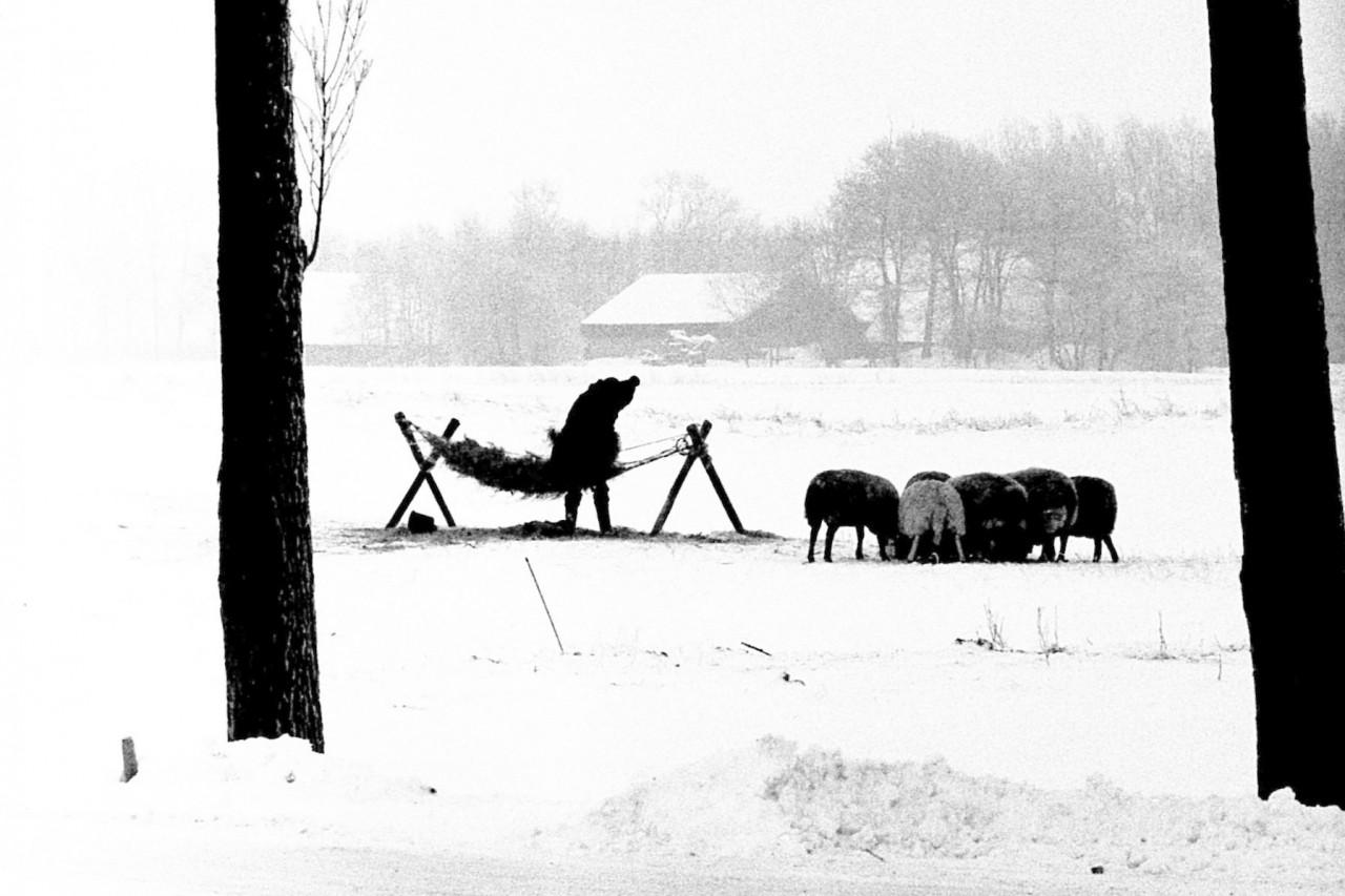 Irene Robertus voedt haar schapen