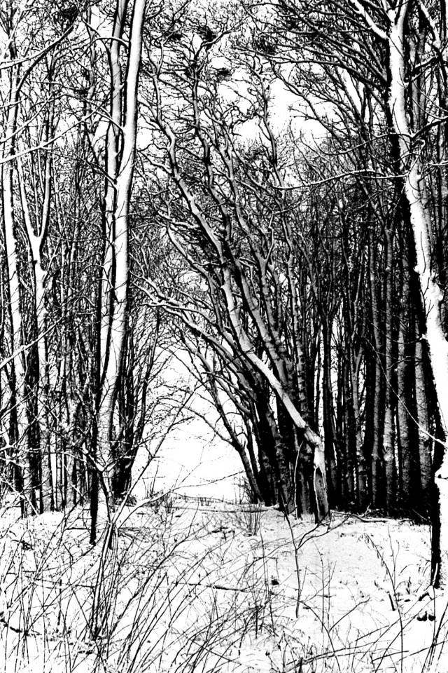 Boomsingel bij de boerderij Pollux met reigerkolonie, winter 1979-80 (foto 4)