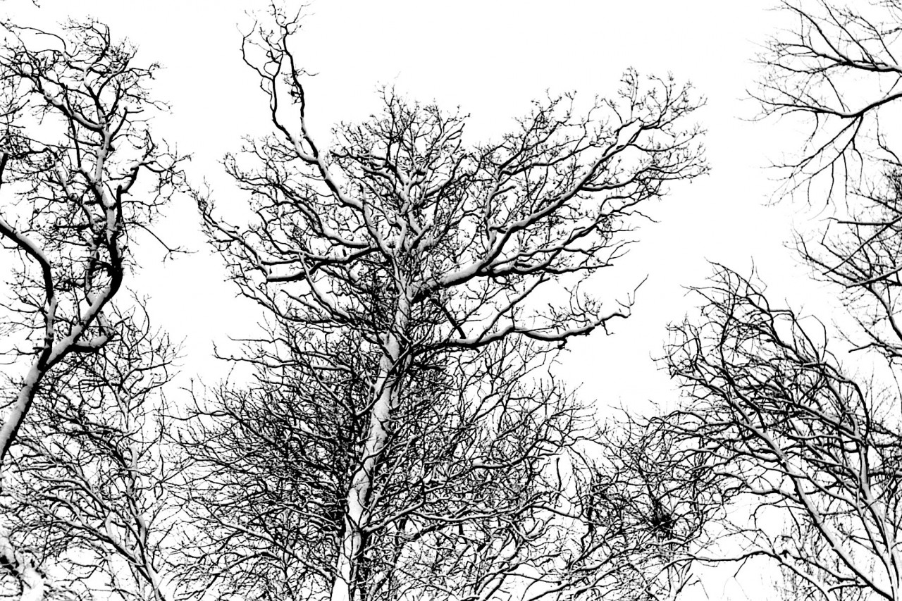 Bomen van Pollux met reigernesten, winter 1979-80 (foto 3)