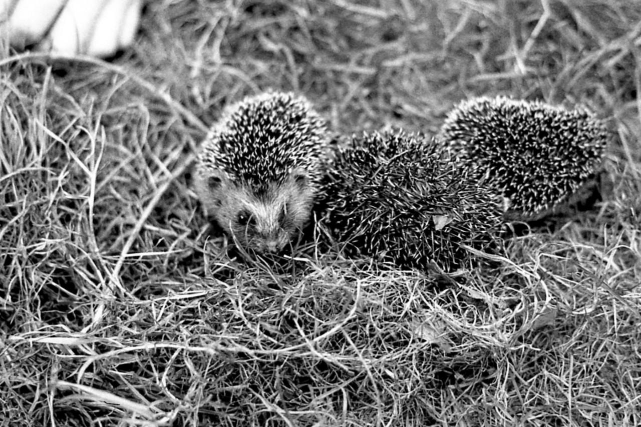 Gevonden egeljonkies in Zuurdijk (foto 2)